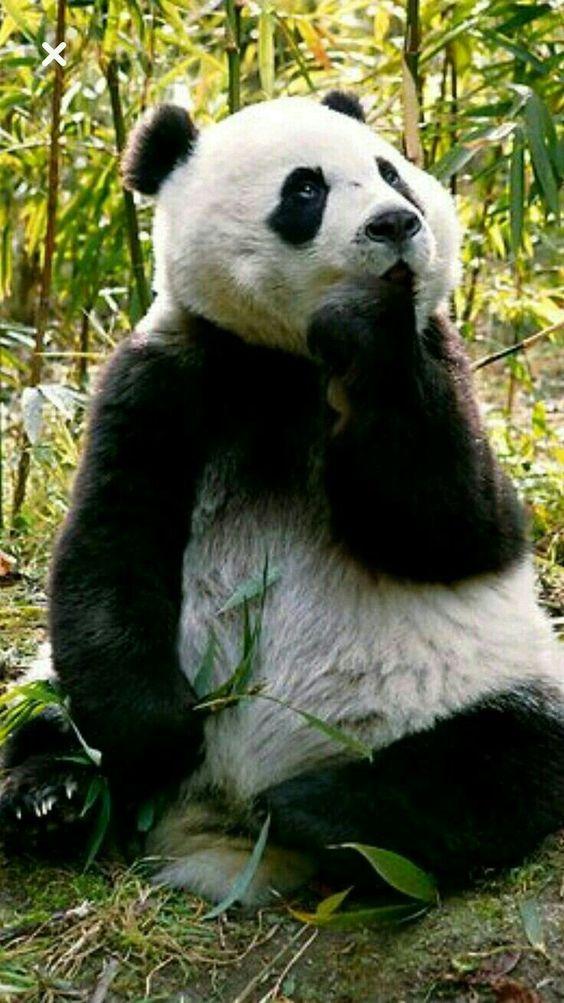 指を咥えるパンダ