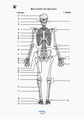 biologie biologie gymnasium niedersachsen 5 6 klasse teil 1 arbeitsblatt das skelett. Black Bedroom Furniture Sets. Home Design Ideas