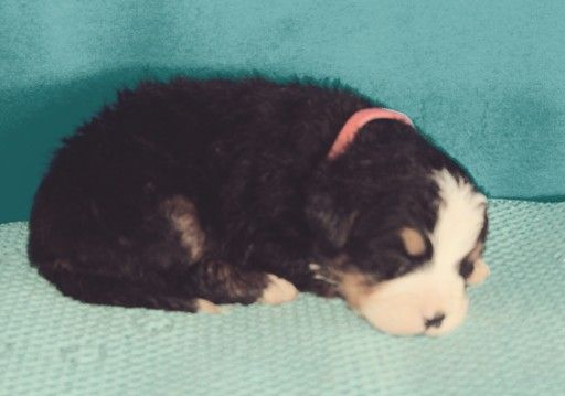 Bernese Mountain Dog Puppy For Sale In Fresno Oh Adn 69434 On Puppyfinder Com Gender Male Bernese Mountain Dog Dogs And Puppies Bernese Mountain Dog Puppy