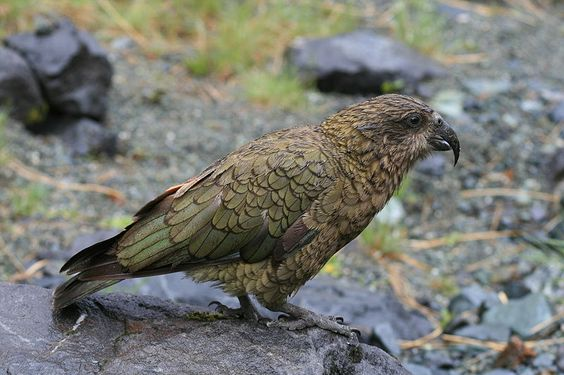 The Kea (Nestor notabilis) is the world's only species of alpine parrot, found on New Zealand's South Island.