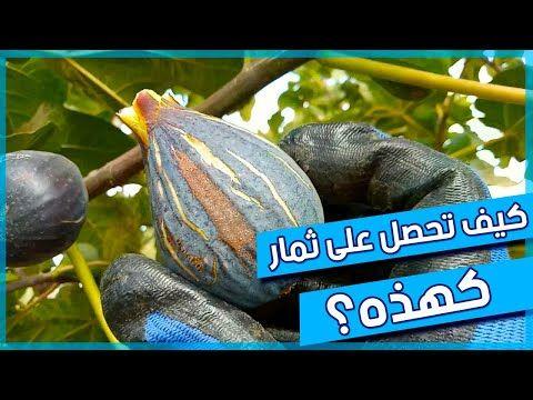 المعاملات الاساسية التي تحتاجها شجرة التين للحصول على منتوج جيد المسافة بين الأشجار Youtube Fruit Vegetables Pumpkin