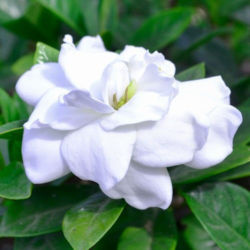 Gardenia Professor Pucci Gardenia Evergreen Shrubs Plants