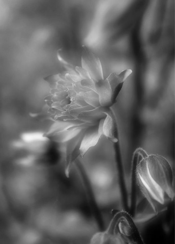 Coloumbine in Balck and White - Flower photography, floral photography, garden, nature, photography, black and white photography