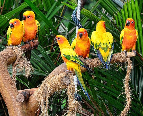 These cute sun conures can be seen in Jurong Bird Park in abundance!