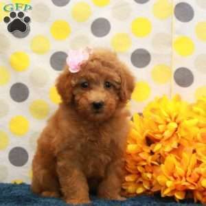 Miniature Poodle Puppies For Sale Mini Poodles Mini Poodle