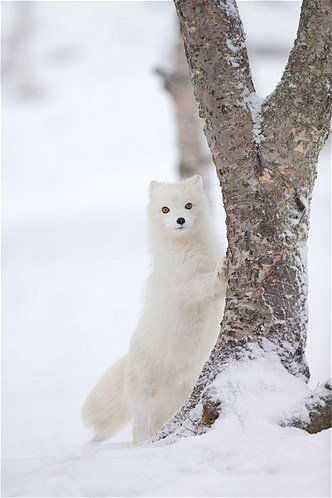Arctic fox in snow with tree - on Hello Lovely Studio #winterwonderland #arcticfox #adorableanimals