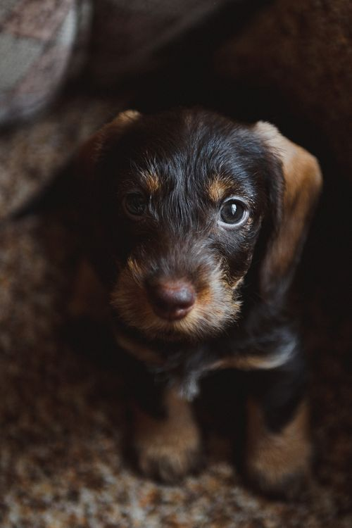 Doxie pup:
