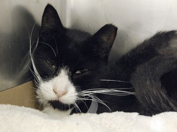 ZELDA - A1088866 - - Manhattan  **TO BE DESTROYED 09/11/16** ZELDA NEEDS SOME MEDICAL COMFORT FOR HIS MOUTH! Looking at Zelda's photo, you can almost see the pain in his eyes. Zelda's need appropriate and immediate treatment for his infected mouth but doesn't seem to be getting anything but a death sentence at ACC. This neutered seven year old fella earned an awesome AVERAGE behavior rating and deserves to saved. Step up for this great boy tonight! Please