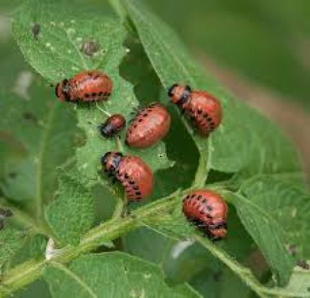 Tips and idea for Dealing with Garden Pests like potato bugs, animals eating your plantings, mold and mildew.http://homeandfarmsense.com/2015/08/05/you-can-be-a-great-gardener-part-5-dealing-with-garden-pests/#comment-1087