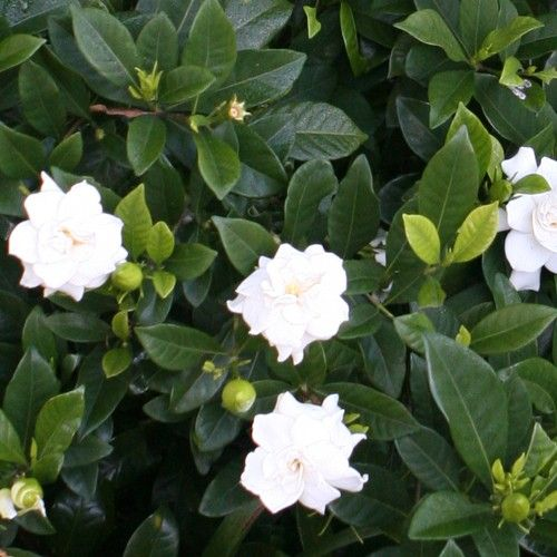 Low Growing Evergreen With Rich Glossy Dark Foliage And Strongly Fragrant White Flowers Beautiful In Pots Planting Flowers Hedging Plants Australian Plants
