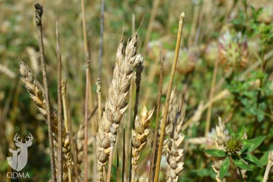 Deer Prefer Awnless Wheat