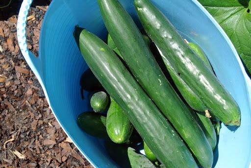 Look at these delicious cucumbers! I prefer them small to medium in size. Cucumbers, Cucumis sativus, are so good in salads and also on their own. There are three main varieties of cucumber - slicing, pickling and burpless. Go to my web site for summer vegetable side dish recipes. http://www.marthastewart.com/275645/60-summer-side-dishes/@center/276964/60-days-summer