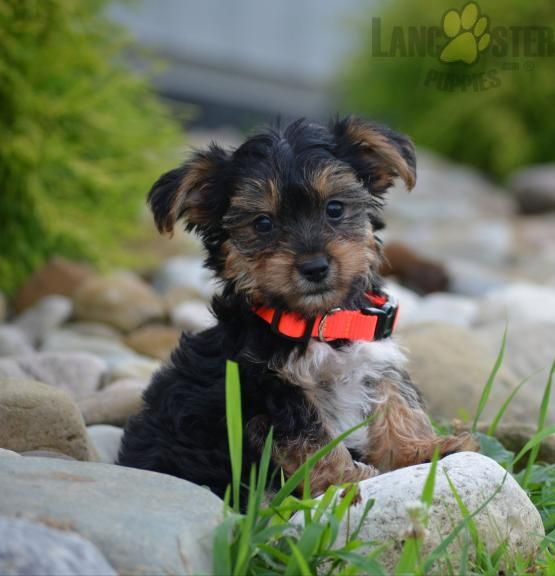 Pin By Buckeye Puppies On Yorkshire Terrier Puppies In 2020 Yorkshire Terrier Puppies Yorkshire Terrier Puppies