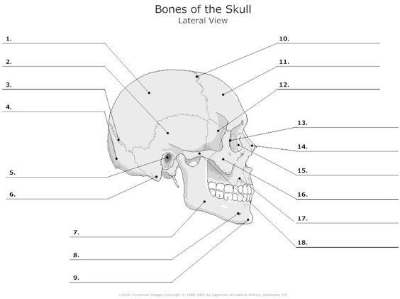 skull in waters view for facial bones lateral view of the bones of the skull unlabeled. Black Bedroom Furniture Sets. Home Design Ideas
