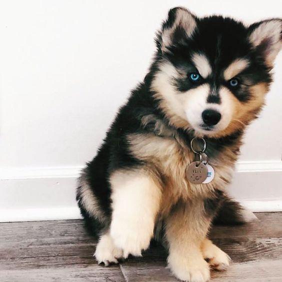 Chó Husky con có giá như cập nhật bên trên