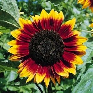 Sunflower Plant Seeds|39 Sunflowers|Helianthus Seeds
