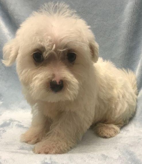Dallas Maltese Puppy 572287 Puppyspot Maltese Puppy Maltese Puppies
