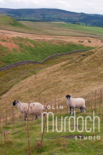 Sheep in the Yorkshire Dales - Fine Art Photography For Sale at www.colinmurdochstudio.smugmug.com
