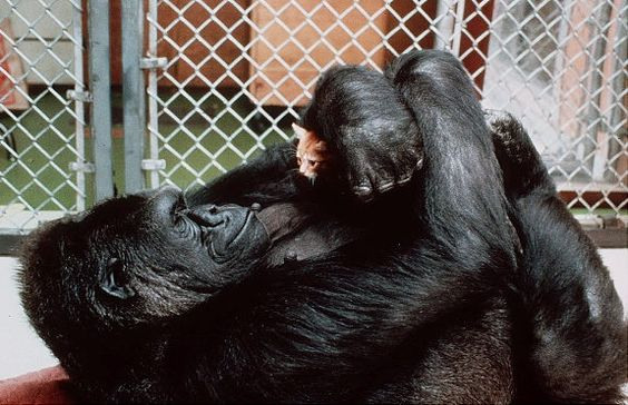 Koko, the famed 230-pound gorilla who converses in sign language, was known for her affection for her kitten. She's shown here in 1985.