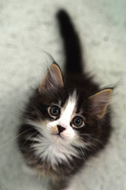 Cute Kittens Near Me Cute Cats To Buy Kittens Cutest Cute Cats Cute Animals