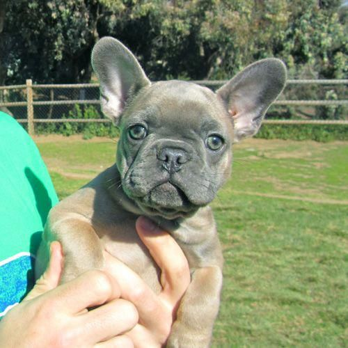 French Bulldog Playful And Smart French Bulldog Lilac French Bulldog Bulldog