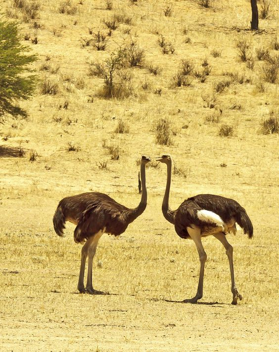 Two wild ostriches discuss the day's Rugby scores and where to find the best grubs.