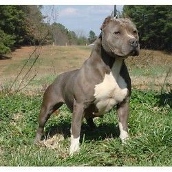 american pitbull terrier - Google Search