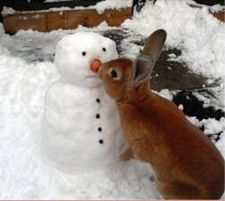 Annuska Arkovits told us, 'Here is a picture of my bunny Drex, the mini rex, in my back garden in York, England. I think he thought he was helping, but he just kept on eating the snowman's nose.'