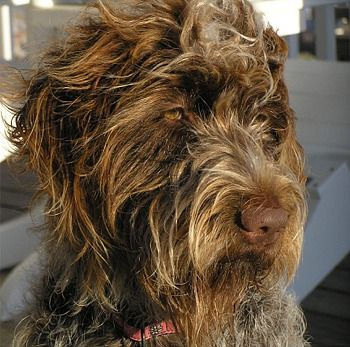 My Wirehaired Pointing Griffon - Chief.  No matter what kind of day I have, I can always count on him to be relentless in sharing his affection.  His eyes are amazing.  He sees right thru me to the core.  Pure emotion.