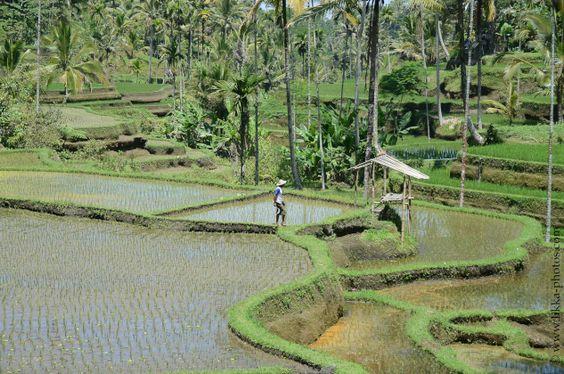 Rice Field Man
