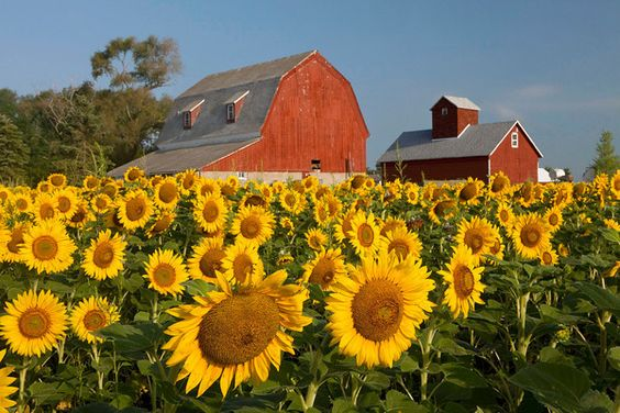 Sunflowers and a big red barn!