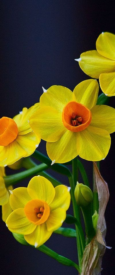 Jonquils. My very favorite spring flower. Love their sweet and simple fragrance.  They just make me happy.