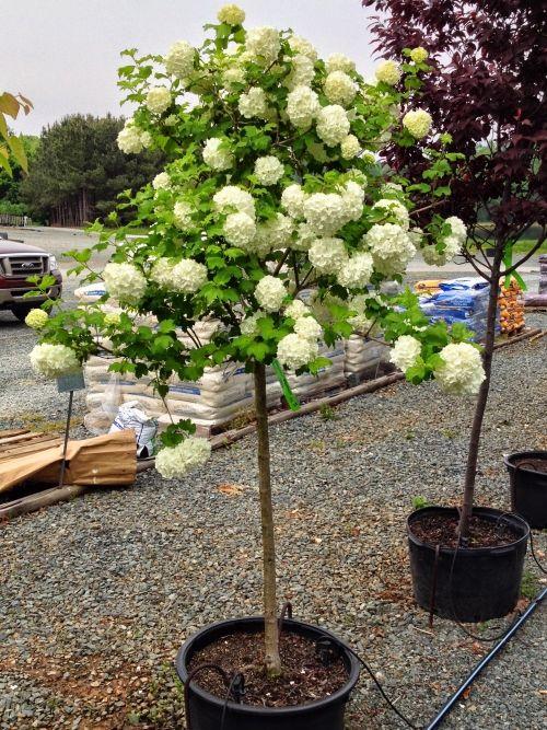 snowball viburnum tree