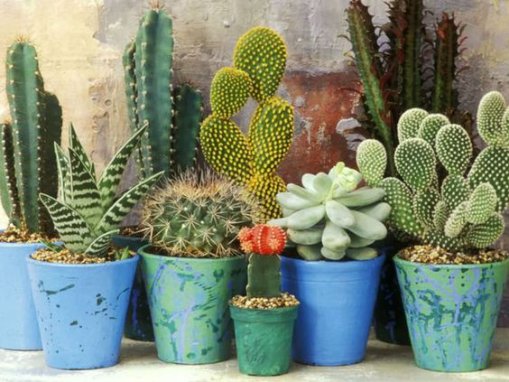 Cacti and succulents are not heavy feeders but do benefit from light feeding during their growing period - usually the warmer months of the year...