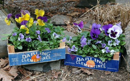 Clementine boxes as planters, duh
