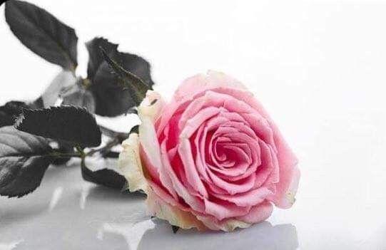 اكسب قلوب الأخرين بأربع بطيب الكلام وجميل الاهتمام وصدق الالتزام وحسن المعاملة صباح الخير Plants Rose Flowers
