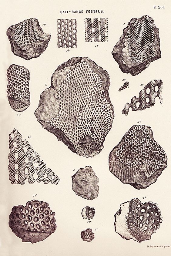vintage illustration, Salt-Range Fossils, by Wilhelm Heinrich Waagen, from Memoirs of the Geological Survey of India: Palaeontologia Indica, 1895