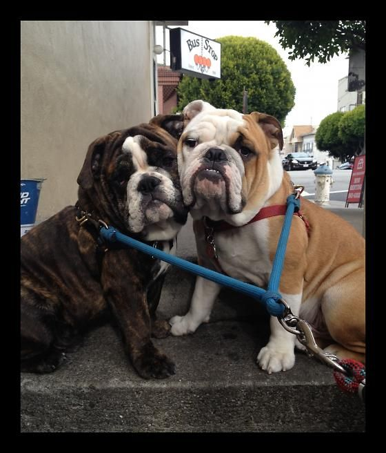 Vote for Walter and Munson!  The cutest bulldogs in San Francisco!