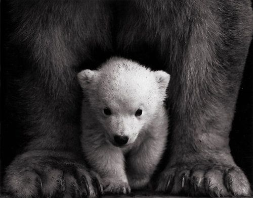 Baby White Polar Bear with mom. | Jungle Spirit in black ...