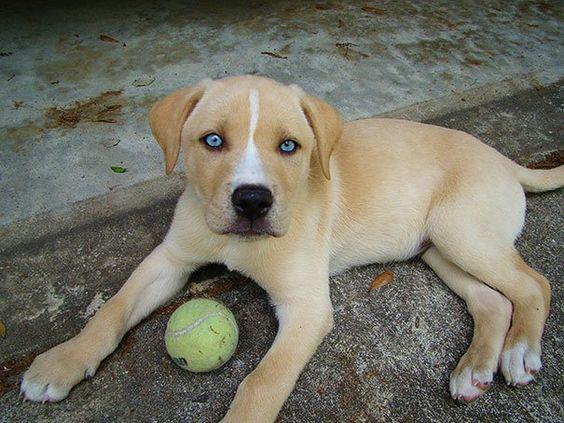 Labrador + Husky