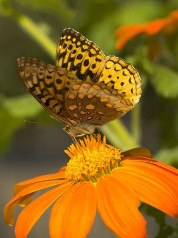 A Skipper-Type Butterfly Feeding on an Orange Flower