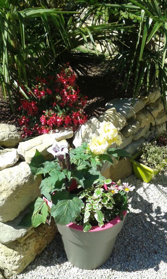 Datura Metel en fleurs mauves et jaunes, Fushia à l'ombre des palmiers
