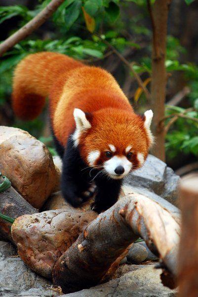 レッサーパンダ毛の色が綺麗で触りたくなる姿