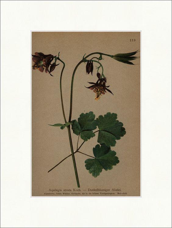 Sombre Aquilegia atrata cuisson fleuri. forêts clairsemées Peut flore alpine 119 - Antique Biller