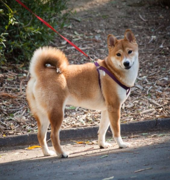 Shiba Inu model pose with a hint of the Shiba smile