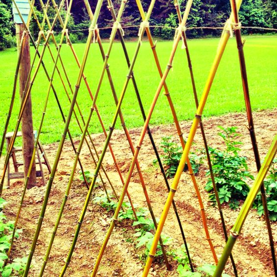 Pole beans with bamboo poles garden Pinterest Bean trellis