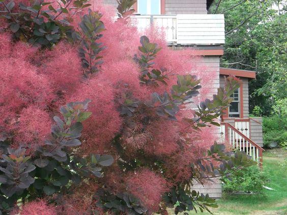 cotinus coggygria royal purple scumpia smoke bush. Black Bedroom Furniture Sets. Home Design Ideas