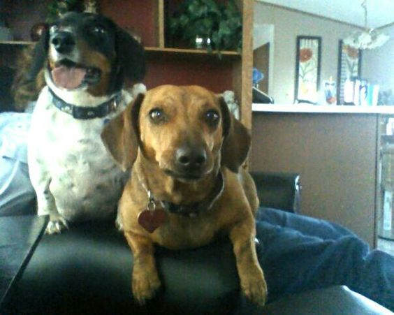 My doxie babies
