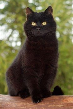 Black cats are the B