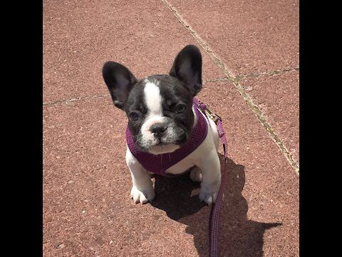 Pin On Stella The Frenchie
